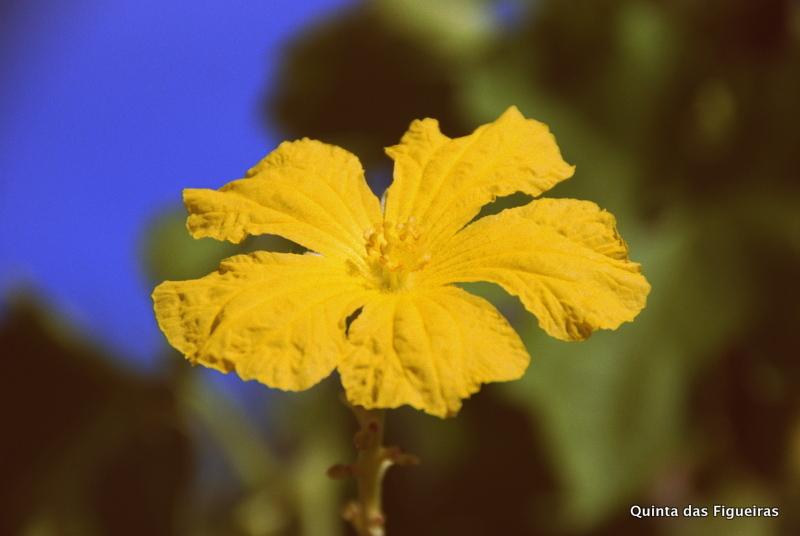 Die wunderbare Luffablüte erstrahlt in ihrer vollen Pracht.