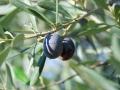 ...traumhafte Oliven - doch der Schein trügt!